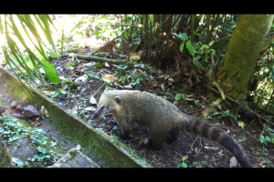 There were coatis everywhere!