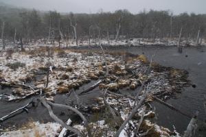 The beaverless beaver dam