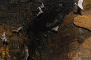 The Bahakot Cave Bats