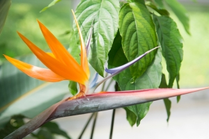 A bird of paradise flower