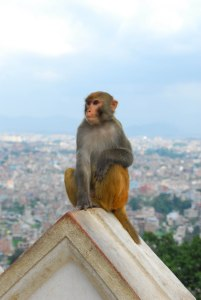 A monkey taking in the view at Swayambunath