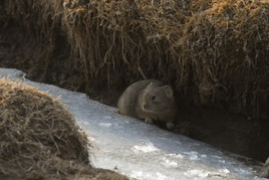 A marmot on the last piece of ice in the Ice Canyon