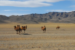Bactrian camels in the desert
